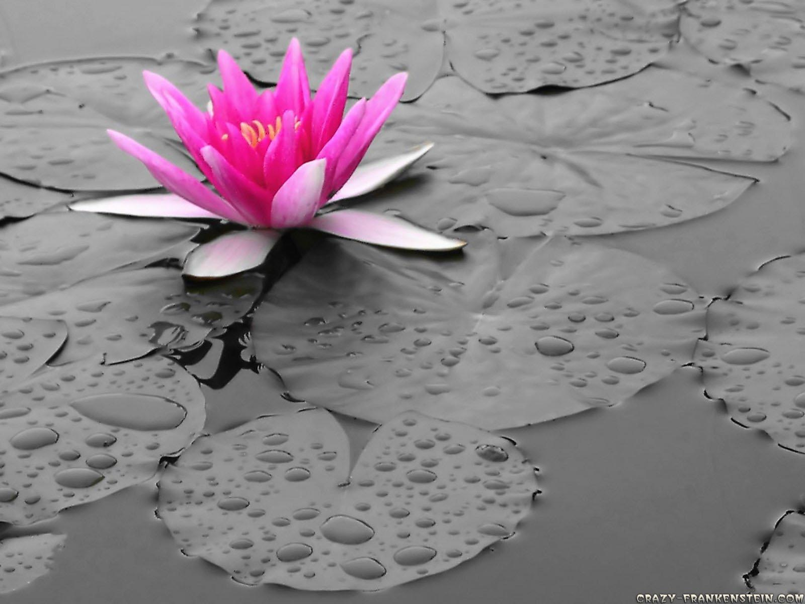 Pink+Lily+Flower+Wallpapers+1.jpg