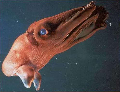 Strangest Marine Sea Creatures Vampire squid