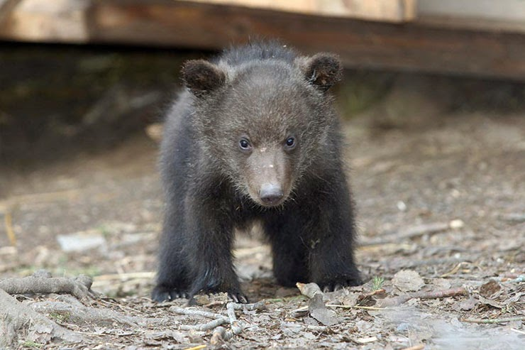 Детеныш русского медведя