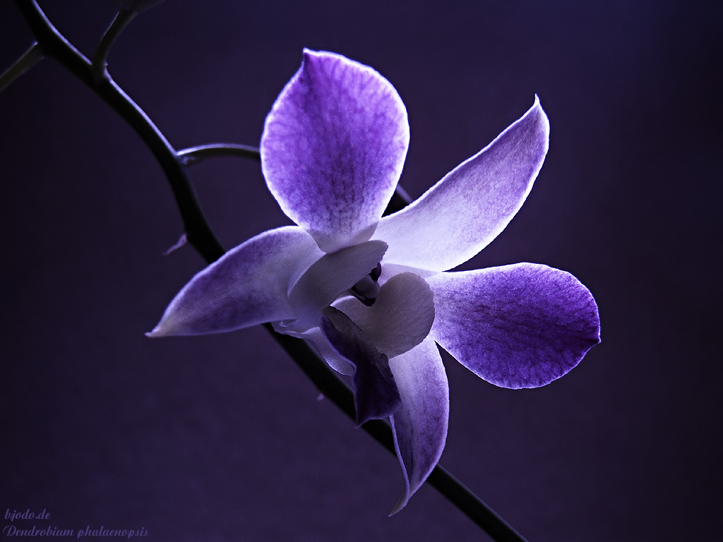 http://2.bp.blogspot.com/-uoykMGJSzeQ/T1JJegIkseI/AAAAAAAAAaU/6eB1MxRn28g/s1600/orchid-flower-wallpaper_of_flowers-g%C3%BCl-mavi-sar%C4%B1-windows-masa%C3%BCst%C3%BC-duvarka%C4%9F%C4%B1d%C4%B1-vindov-hq_flower_wallpapers_download-hd-masa%C3%BCst%C3%BC-foto%C4%9Fraflar%C4%B1-resimleri-%C3%A7i%C3%A7ek-papatya-en-iyi-bitki-wallpaper.jpg