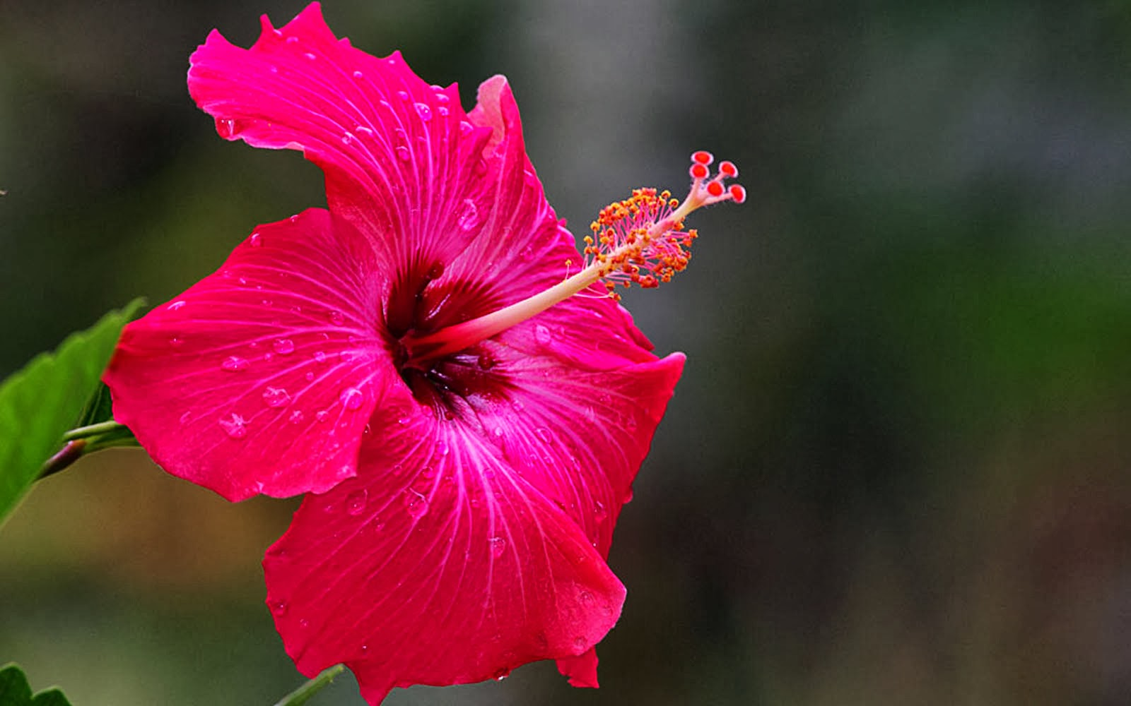 3y45 wallpapers pink hibiscus flower wallpapers wallpapers pink hibiscus flower wallpapers izmirmasajfo Gallery