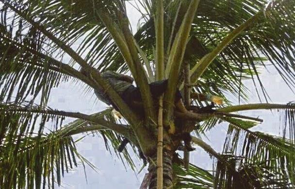 Merajuk Dek Kerana Arak Warga Emas Ini Tertidur Di Atas Pokok Kelapa