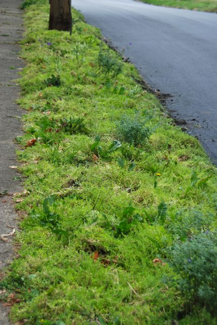 The curb strip on the other side is filling out quite nicely with its turf replacement plant, Sedum 'Acre'. It still needs to be weeded a bit more, but it was even more full of dandelions when it was just patchy turf. The grey mounds are the catmint, Nepeta 'Walker's Low'.