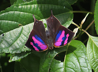 Fountainea nessus, Superb Leafwing