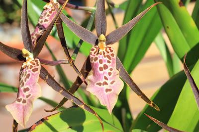 Odontoglossum-Oncidium Orchid