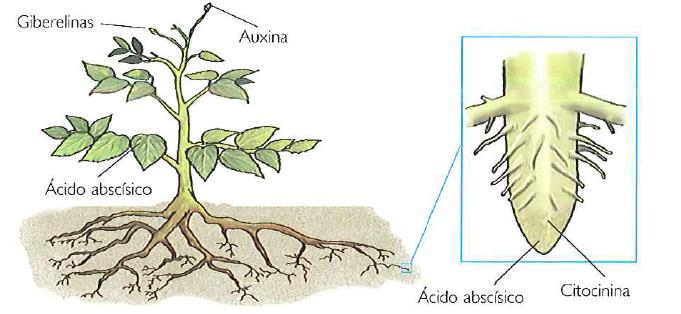01 las hormonas vegetales las plantitas de lidia for Hormonas en las plantas