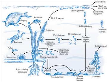 Gambar 7. Rantai makanan dalam ekosistem lamun