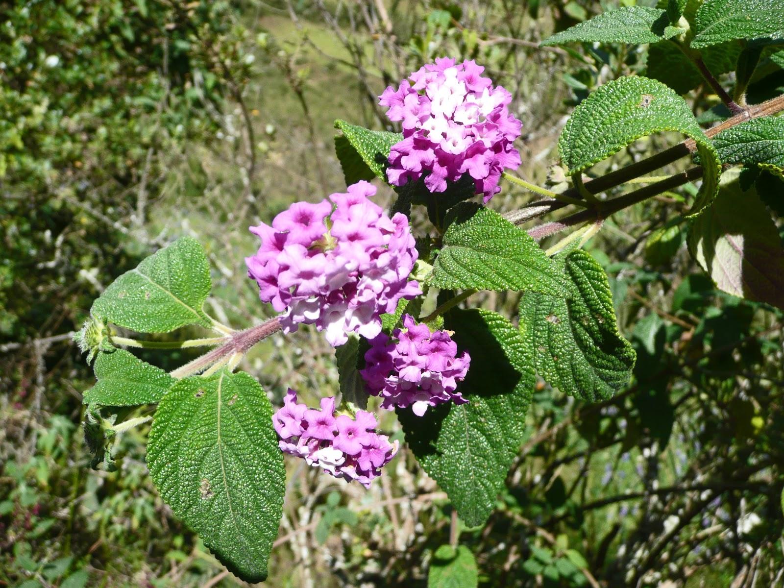 Flores nativas de los andes embellecen el jard n de la Casa