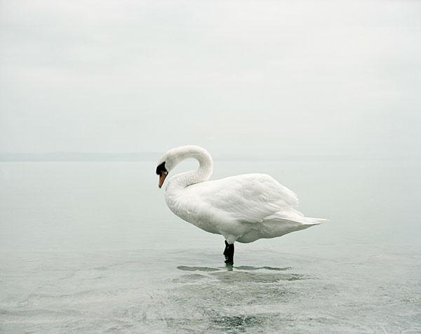 Akos Major - Swan