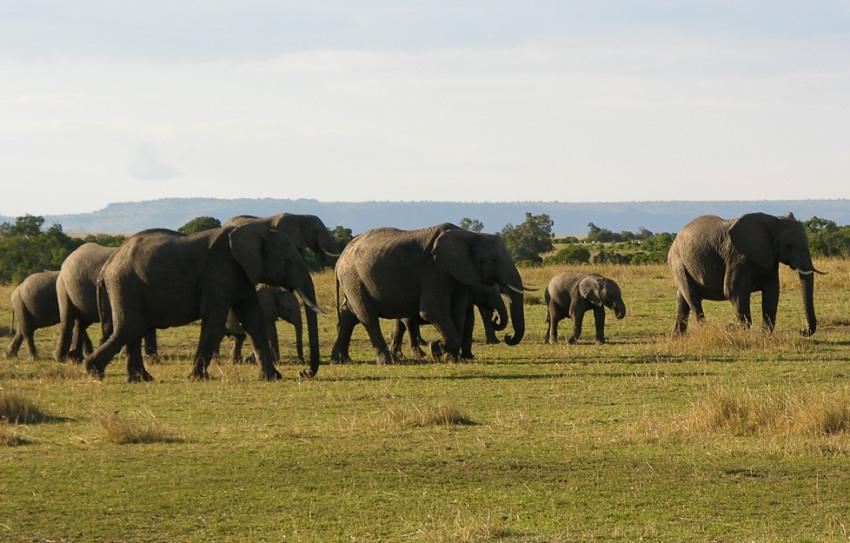 Elephants in the Masai Mara, kenya