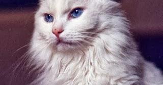 Kucing Anggora Mengenal Sejarah Asal Usul Kucing