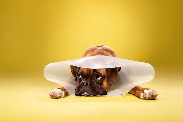 """Os cachorros enfrentam seu grande inimigo o """"Cone da Vergonha"""""""