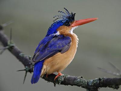 kingfisher Bird Picture