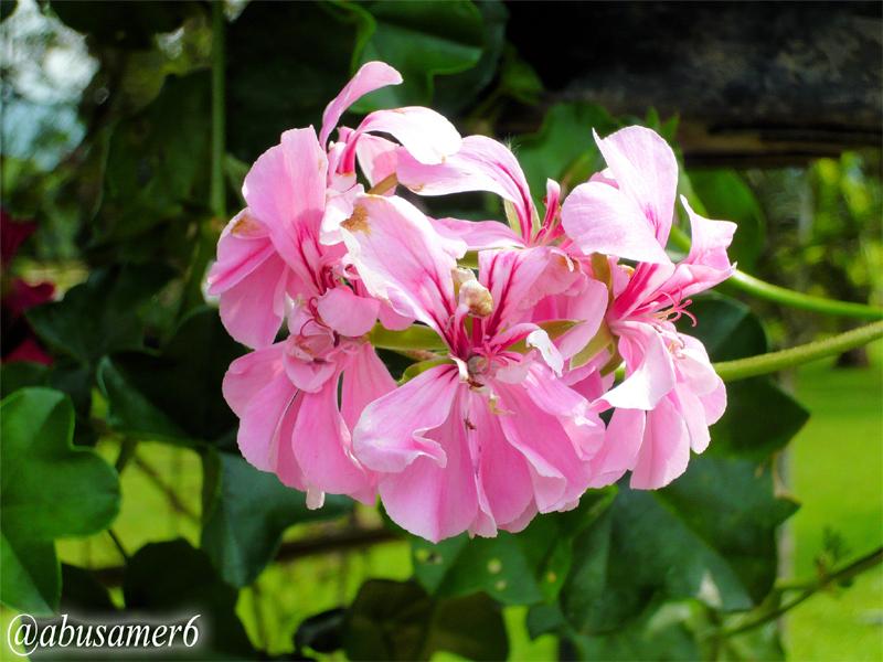 الزهور بونقا) إندونيسيا T04.jpg