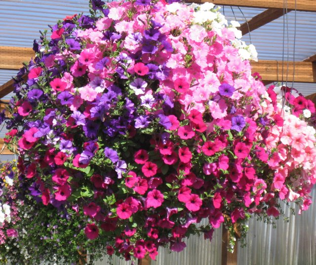 Best Hanging Flowers For Baskets : In my garden how to plant a hanging basket