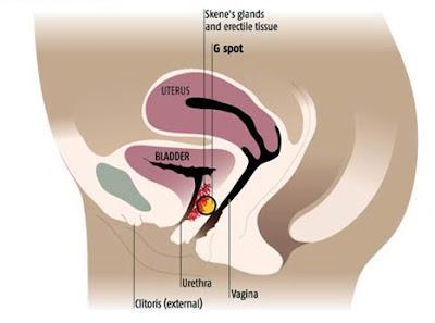 ejaculação feminina glandulas de Skene glandulas parauretrais