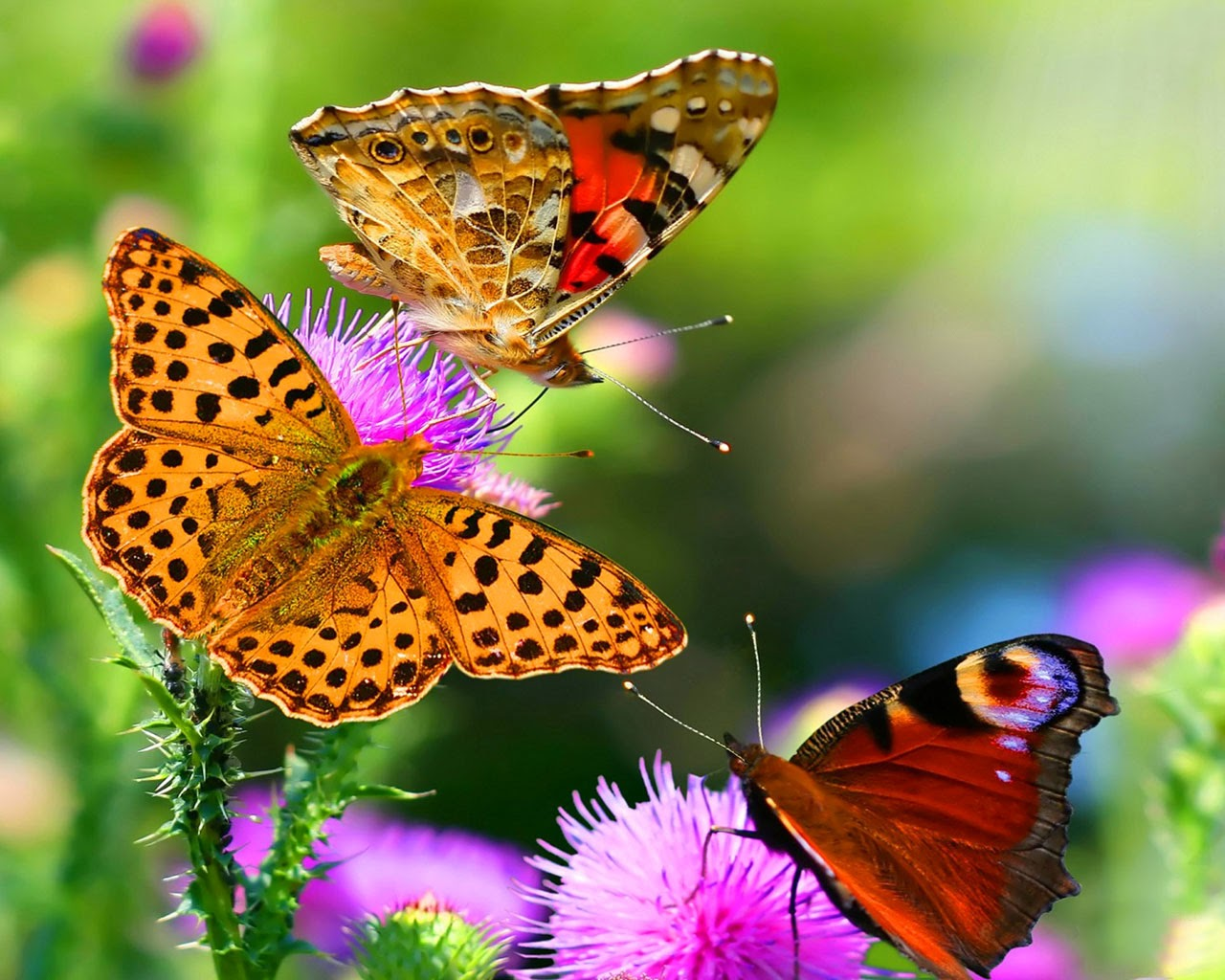 Amazing Butterfly Hd Image