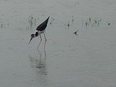 Ave migratória em lagoa na caatinga