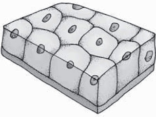 Struktur Dan Fungsi Jaringan Epitel Kubus Selapis