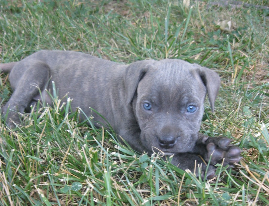 Cane Corso Puppies Desktop Background