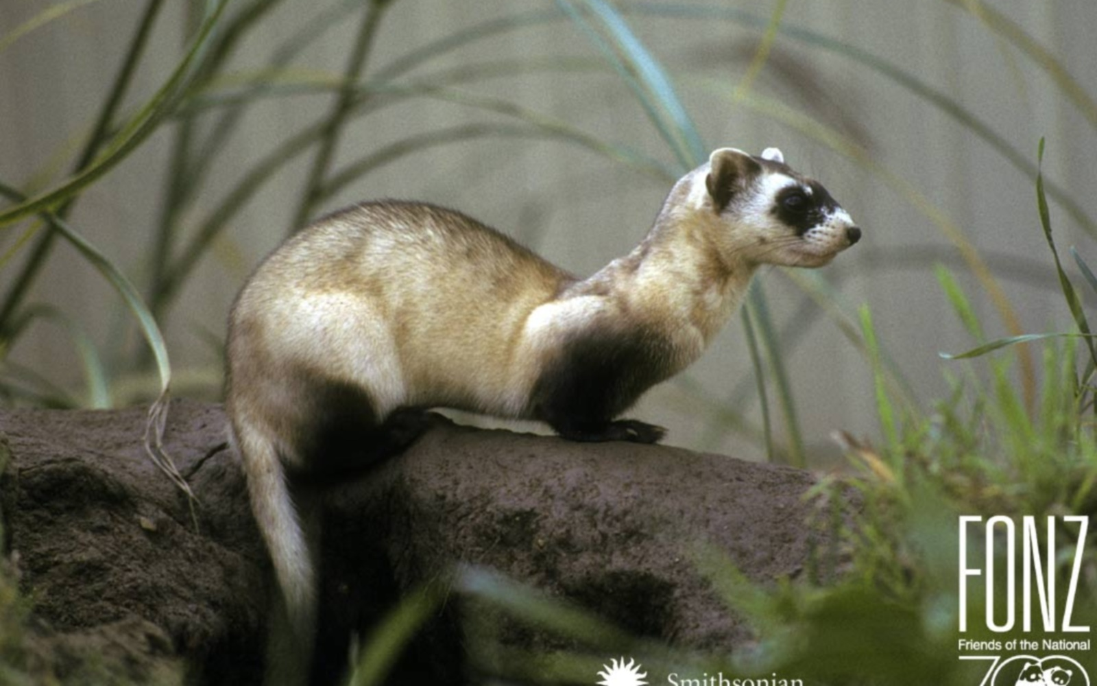 white footed ferret Habitat: black-tailed prairie dog colonies, white-tailed prairie dog colonies, gunnison's prairie dog colonies black-footed ferrets are found surviving only on.