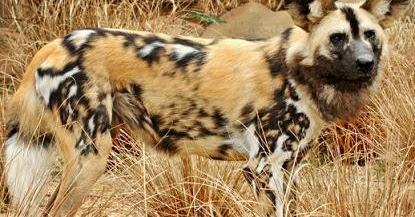 Latin Name Domestic Dog