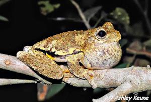 Peron'sTree Frog