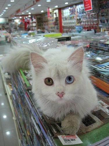 Two colour eyes Kitty- cutipedia