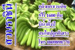 ปลูกกล้วยหอมคาเวนดิช