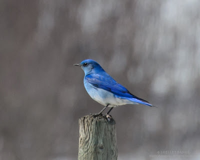 Fence post Mountain Bluebird, #2, male. Photo © Shelley Banks, all rights reserved.