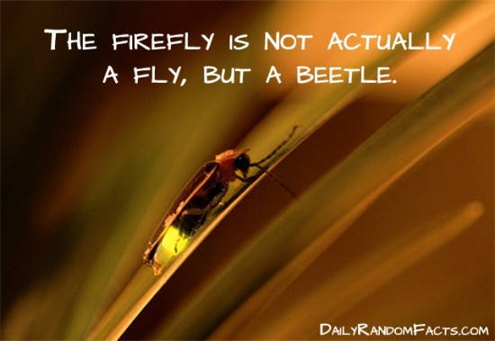 animal facts, facts about animals, interesting animal facts, fireflies fact