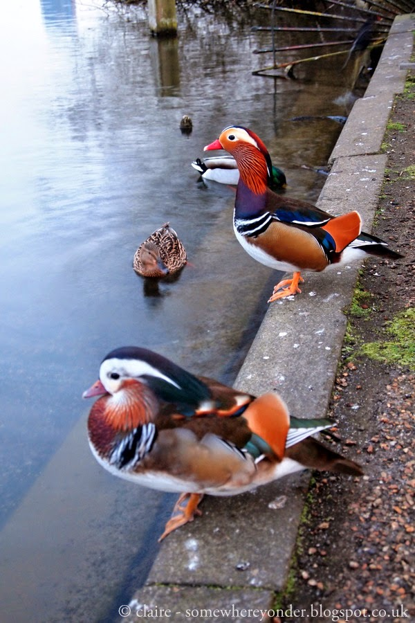 amazing Mandarin Ducks - Hyde Park