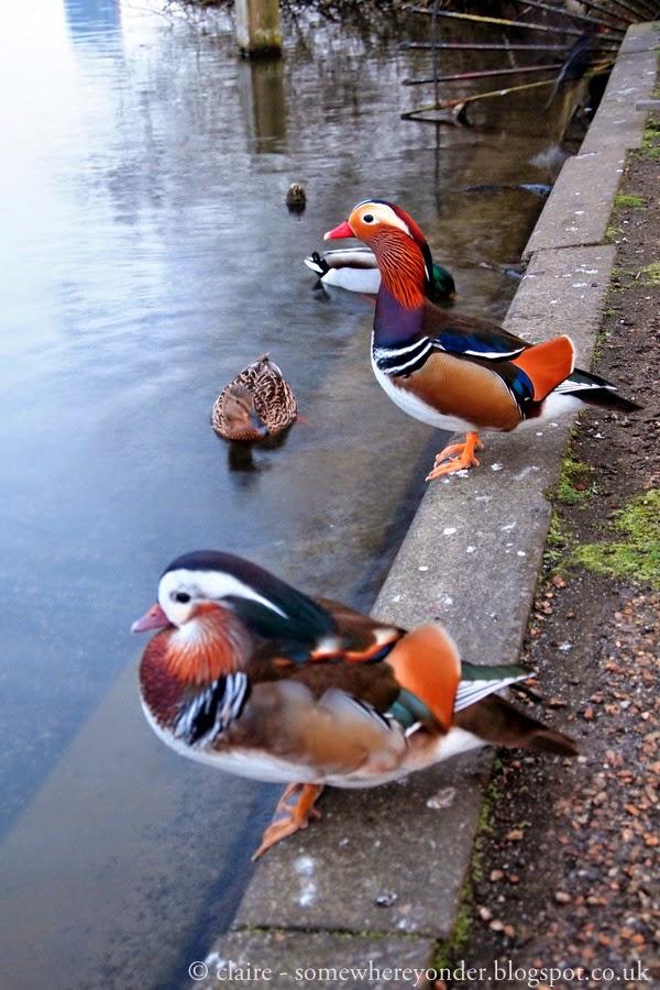 amazing Mandarin Ducks - Hyde Park