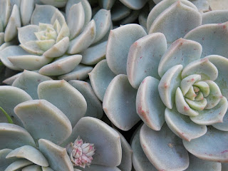suculenta echeveria derenbergii