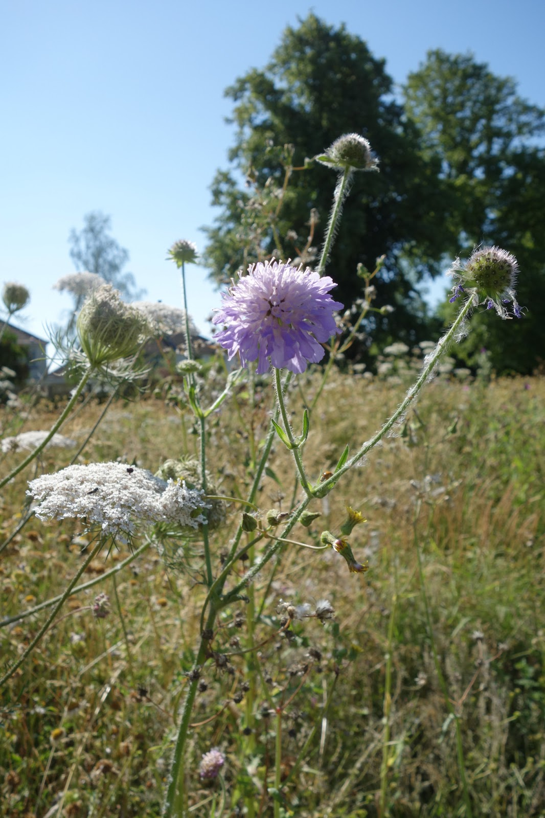 Urban pollinators what plants are flowering in our perennial meadows flower head with many small pink to purple flowers on tall leafless hairy stems hairy greyish green pinnate leaves izmirmasajfo Images