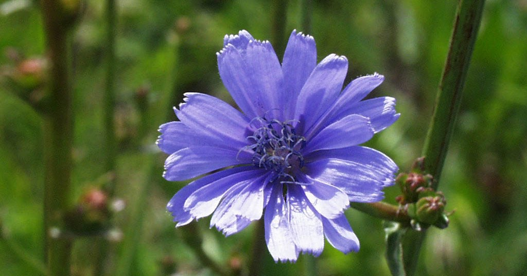 Arte y jardiner a dise o de jardines achicoria cichorium for Diseno de jardines 3d 7 0 keygen