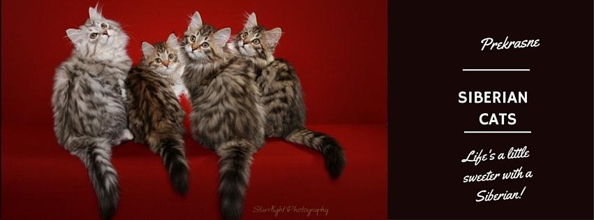 Prekrasne Siberian Cats