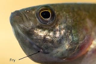 Ciri dan Perilaku Ikan Cupang Mouthbrooder