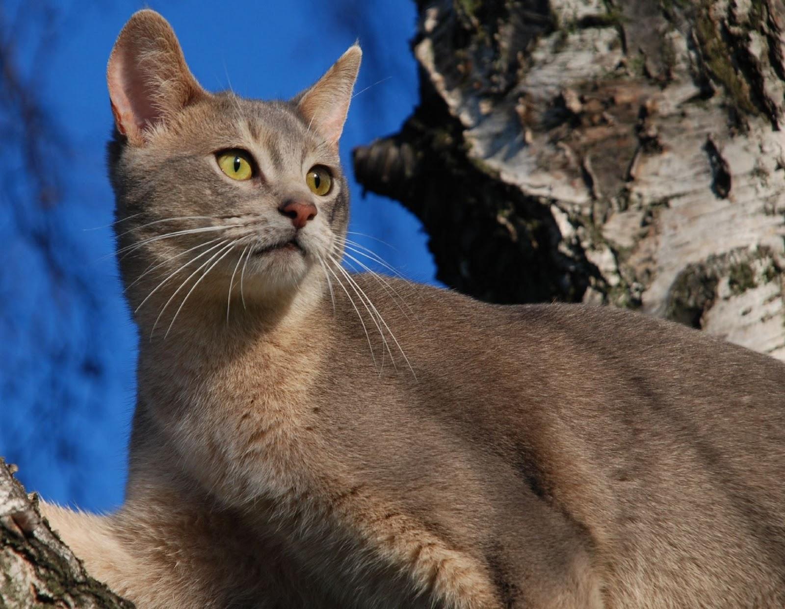 http://2.bp.blogspot.com/-uvOp8HFBuhI/Tx75DqmYKJI/AAAAAAAAFP4/ywAH48MzqSA/s1600/Abyssinian+Cat+Breed++%252843%2529.jpg