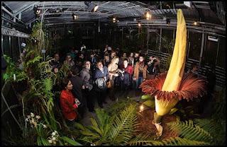 bunga paling besar di dunia amorphophallus titanum