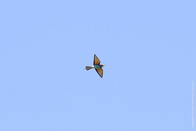 Золотистая щурка (Merops apiaster) European Bee-eater