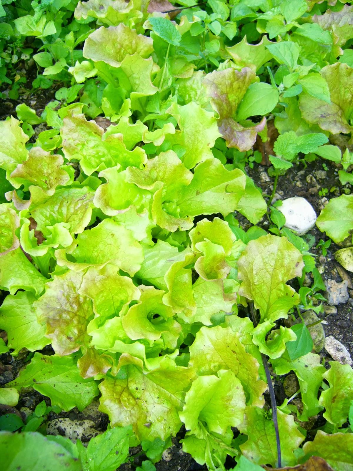 Quando si semina l insalata quando si semina l insalata for Insalata da taglio