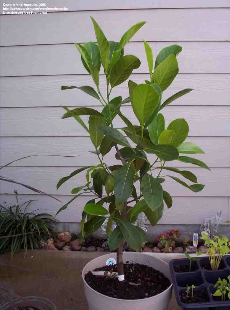 the gallery for gt jackfruit tree flower