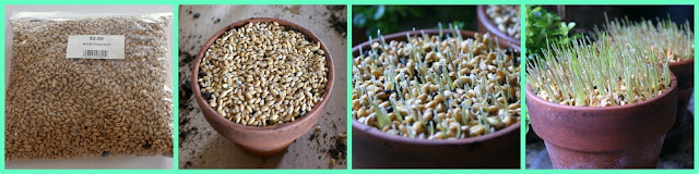 wheat grass seeds planted in pots
