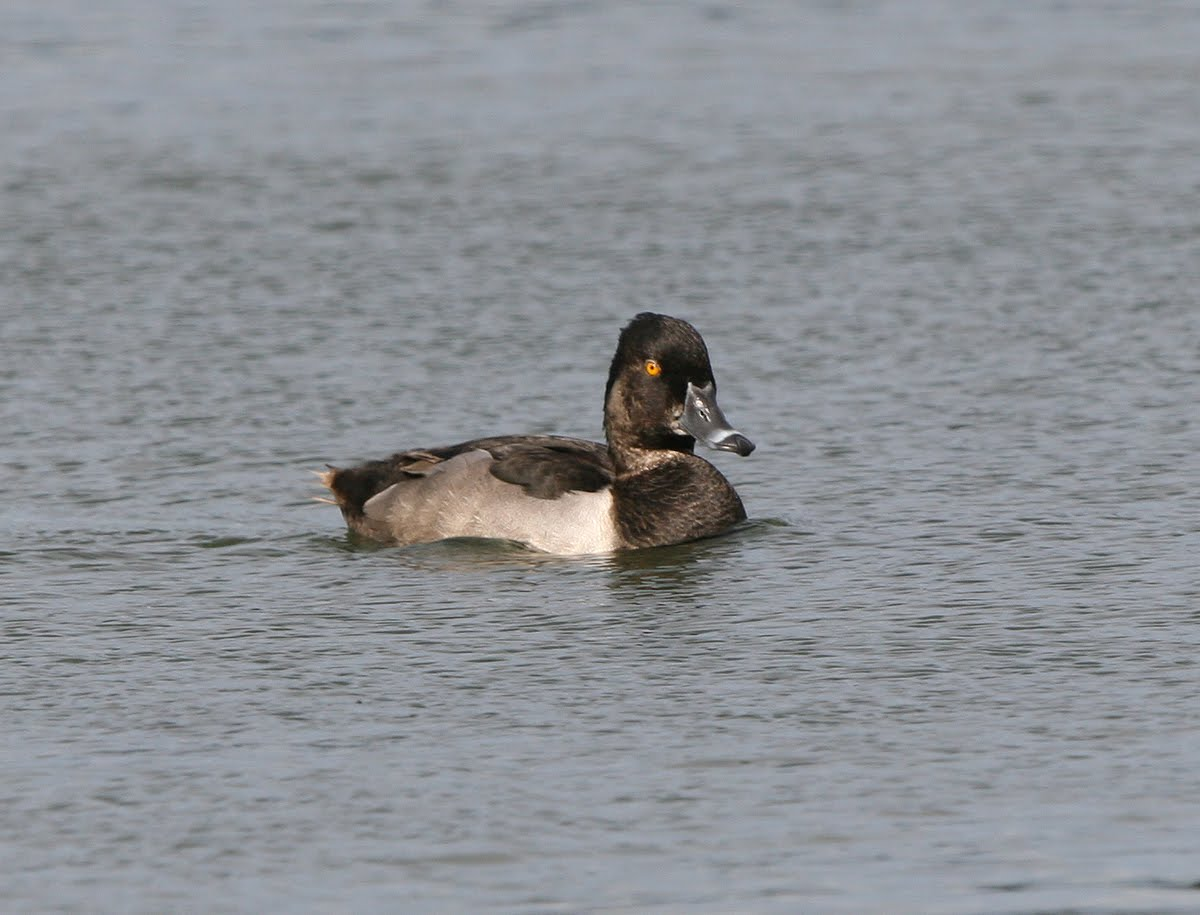 Ring Necked Duck (2009)