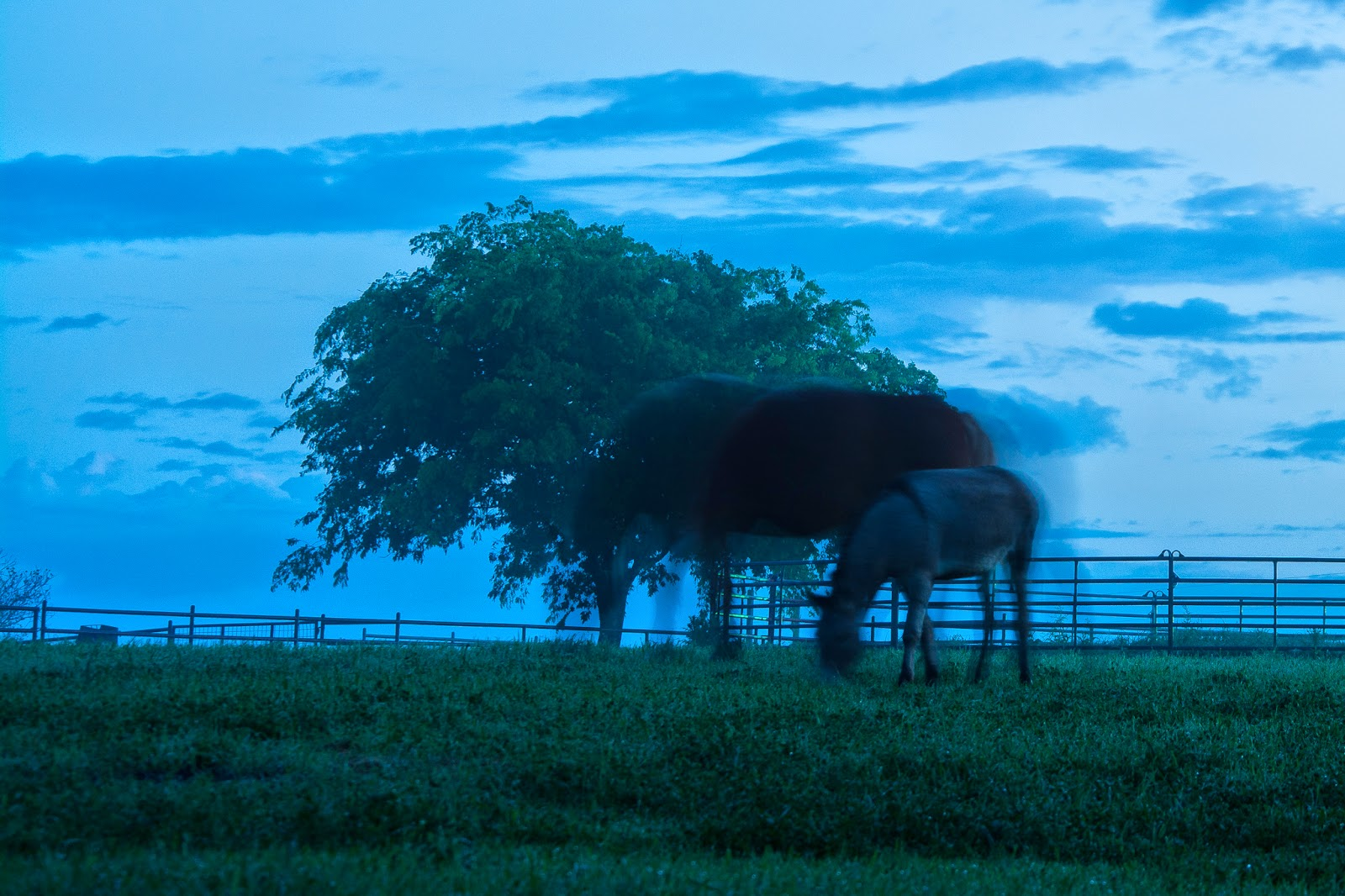 Belgian Horses, Ennis