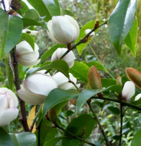 Bangalow tree tales a little exotic tree goes a long way with glossy deep green foliage bubbles gets its name from the white cup shaped flowers that appear prolifically along the stem with from fur covered mightylinksfo
