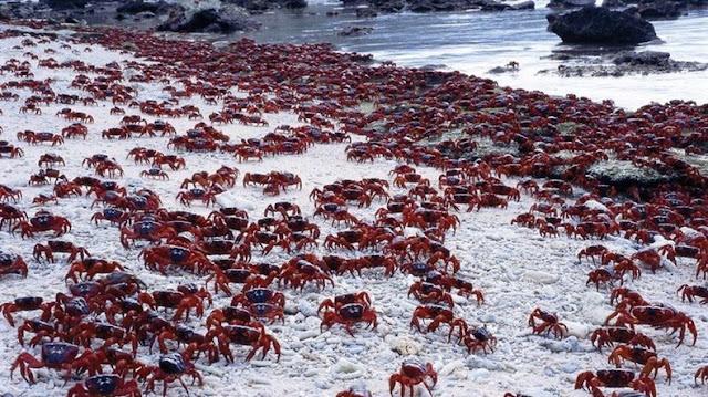 red crab migration 10%5B2%5D هجرة سرطان البحر ، حين تجد مدينتك تكسوها هذه الكائنات ، فيلم رعب على أرض الواقع