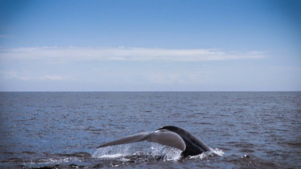 best_whale_watching_california_blue_whale_tail