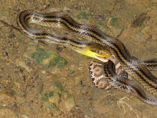 シマヘビの画像 p1_2